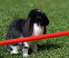 Rabbit Agility - Teaching Your Rabbit Tricks | Pets4Homes