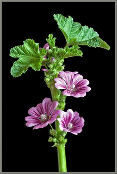 """A Close-up View of the Wildflower -""""High Mallow""""- Malva sylvestris"""