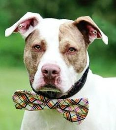 11/15/15-Meet Bronx - URGENT, a Petfinder adoptable Pit Bull Terrier Dog | Mansfield, OH | Hi there, the staff at the shelter named me Bronx. I came to the shelter as a stray on 6/3/15. I...