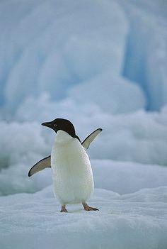Adelie Penguin (Pygoscelis adeliae) on ice floe, Paulet Island, Antarctica