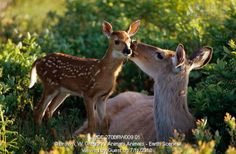 White-tailed Deer with fawn kissing it on cheek