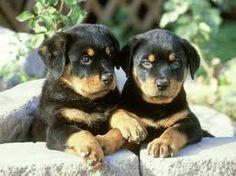 Buy & Sell ROTTWEILER puppies online https://www.dogspuppiesforsale.com/rottweiler