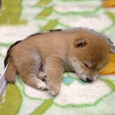 Sleeping Mame Shiba puppy #dog