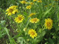 Meadow Arnica produces many blooms per plant.