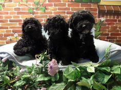 Minidoodle Australian Labradoodle, Pup, Dogs, Animals, Animales, Dog Baby, Animaux, Pet Dogs, Puppies