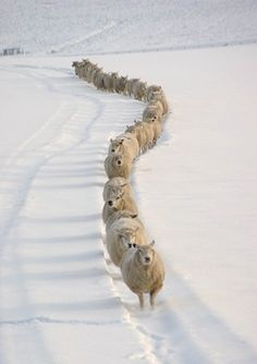 sheep in snow. Sheep are so stupid they will stand in a snow storm and get compleatly covered and will die if the shepherd doesn't go dig them out and make a trail like this for them! Farm Animals, Animals And Pets, Funny Animals, Cute Animals, Wild Animals, Foto Picture, Photo Animaliere, Photo Focus, Beautiful Creatures