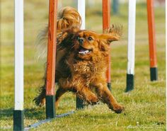 Agility course with a very happy Cavalier King Charles Spaniel Cavalier King Spaniel, King Charles Spaniel, Cavalier King Charles, Best Dog Breeds, Best Dogs, Dog School, E Sport, Dog Agility, Training Your Dog