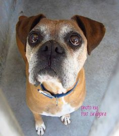 Just because his muzzle turned gray, his family said he was too old? Does Astro look like he's ready to call it quits? Boxer Rescue, White Boxers, Baldwin Park, Pitbulls, June 24, Type 3, Theater, Dogs, California