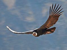 "Andean condor at the ""Condor Cross"", Colca Canyon, Peru. Nikon and Nikon VR lens. Andean Condor, Sparrow Bird, Peru Travel, Nikon D80, Big Bird, Watercolor Animals, Little Birds, Machu Picchu, Birds Of Prey"