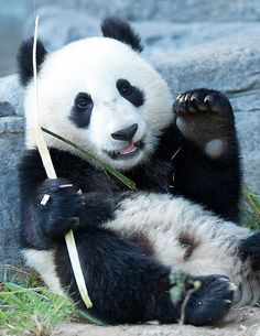 Wu late Sunday afternoon @ San Diego Zoo by Mollie Rivera Zoo Animals, Animals And Pets, Cute Animals, Wild Animals, Panda Love, Cute Panda, Baby Panda Bears, Baby Pandas, Beautiful Creatures