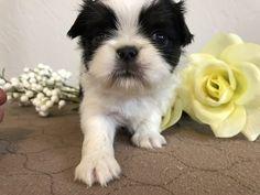 Litter of 7 Japanese Chin puppies for sale in SALEM, OR. ADN-63564 on PuppyFinder.com Gender: Female. Age: 5 Weeks Old