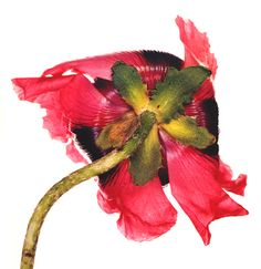 Single Oriental poppy, Irving Penn 1965, Colour Dye transfer