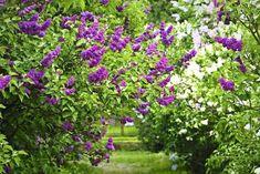 aleje z lilaków - Szukaj w Google Parsley, Herbs, Google, Plants, Herb, Flora, Plant, Planting