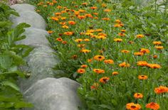 Image result for calendula officinalis