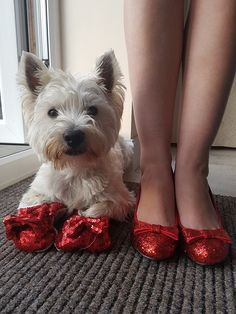 Our Westie Monty felt like he needed Ruby Slippers too
