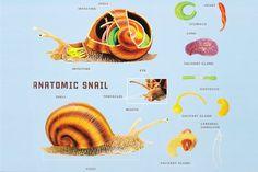 anatomy of a snail