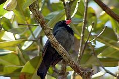 Bico-encarnado (Saltator grossus)