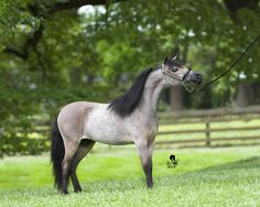Miniature Horse Photography