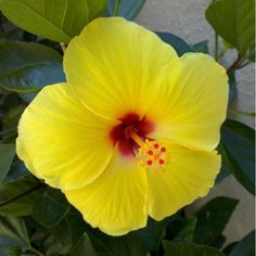 The plumeria flower has a light lovely fragrance that is like no other. Known as the official lei flower easily worn by men and women alike. You can now make your own leis by growing your plumeria gar