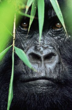Gorillas are charismatic, intelligent, and in danger.