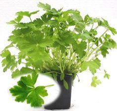 Plantas Aromáticas - Salsa