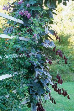 plante grimpante à fleurs croissance rapide - Dolichos lablab - pois antaque