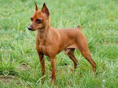I love my baby girl!  http://www.petside.com/breed-profile/dog/miniature-pinscher?gclid=CP7Hl4LRyLECFQLpnAodU30Acg