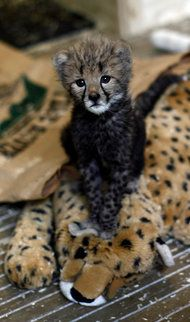 """A 2-month-old cheetah cubs sits on a stuffed animal nicknamed """"Mom"""" during the noon feeding at the National Zoo in Washington."""