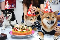 Shiba Inu Birthday Party!