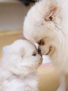 Pomeranian mama with baby