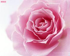 Pink Flower Close Look    Download More Free Wallpaper Visit Freedesktopwallpaperz.net