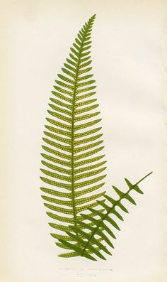 Comb-leaved Polypody
