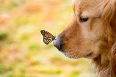 The wonders of nature.  Golden Retriever and Monarch Butterfly.