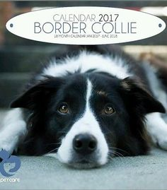 Calendar 2017 BORDER COLLIE 18 month Calendar 2017-2018