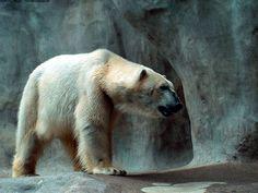 Polar bear HD Wallpapers 6