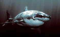 Rough and Tough Shark ~   This photo of a shark shows the scars they can acquire over the course of their life.