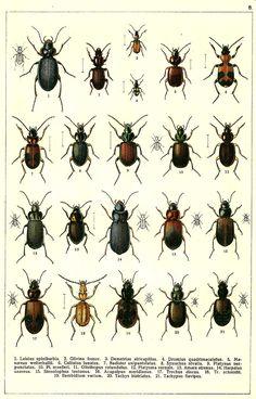 1. Leistus spinibarbis. 2. Glivina fossor. 3. Demetrias atricapillus. 4. Dromius quadrimaculatus. 5. Masoreus wetterhallii. 6. Callistus lunatus. 7. Badister unipustulatus. 8. Synuchus nivalis. 9. Platynus sexpunctatus. 10. Platynus muelleri. 11. Olisthopus rotundatus. 12. Platysma vernale. 13. Amara strenua. 14. Harpalus azureus. 15. Stenolophus teutonus. 16. Acupalpus meridianus. 17. Trechus discus. 18. Trechus schmidti. 19. Bembidium varium. 20. Tachys bistriatus. 21. Tachypus flavipes.