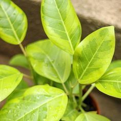 Water Lighting, Light Water, Mealy Bugs, Ficus Elastica, Rubber Tree, Plant Health, Common Names, Propagation