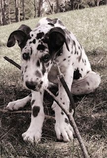 Great Dane baby