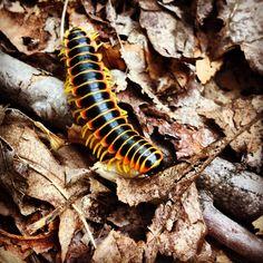 Centipede Ohiopyle