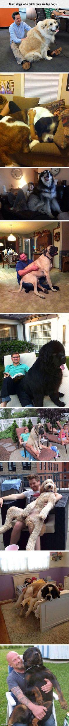 nice Big Lap Dogs