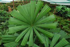 Licuala ramsayi (rare)