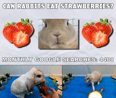 Bunbun feasting on strawberries as a rabbit treat in this fresh episode from TinyPetsTube Rabbit Diet, Rabbit Eating, Rabbit Food, Pet Rabbit, Can Rabbits Eat Strawberries, Ask A Vet, Rabbit Treats, Strawberry Plants, Delicious Fruit
