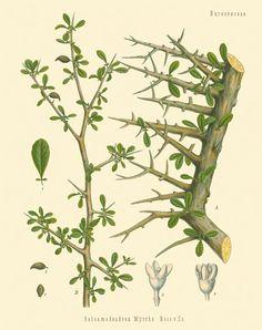 [ Botanical Print: Commiphora myrrha, Myrrh ] illustrated by Franz Eugen Kohler (c. 1883-1914). For sale (or admiration). ~ on Missouri Botanical Garden Press mbgpress.info