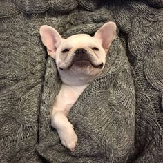 French Bulldog 'Bat-Pig in a Blanket'.❤️❤️