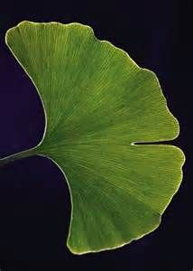 Ginko Leaf - - Yahoo Image Search Results