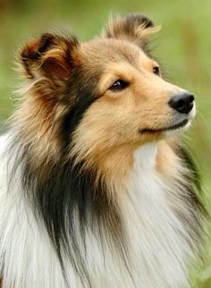 The Shetland Sheepdog originated in the and its ancestors were from Scotland, which worked as herding dogs. These early dogs were fairly small, about 20 inches in height, which further developed into the current Shetland Sheepdog. Miniature Collie, Beagle, Corgi, Shetland Sheepdog Puppies, Herding Dogs, Rough Collie, Mundo Animal, Tier Fotos, Sheltie