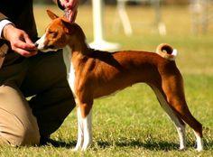 Basenji Facts and Basenji Dog Breed Information