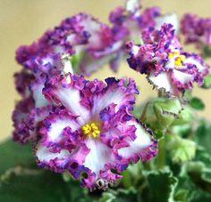African Violet LE-TRISTAN plug plant