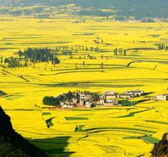 Golden Ocean of Rapeseed Flowers in Luoping, Yunnan Province China